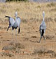 Blue Cranes (Anthropoides paradiseus) couple calling ... (32856994312).jpg
