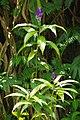 Blue Ginger in full bloom on Hawaii (28176770973).jpg