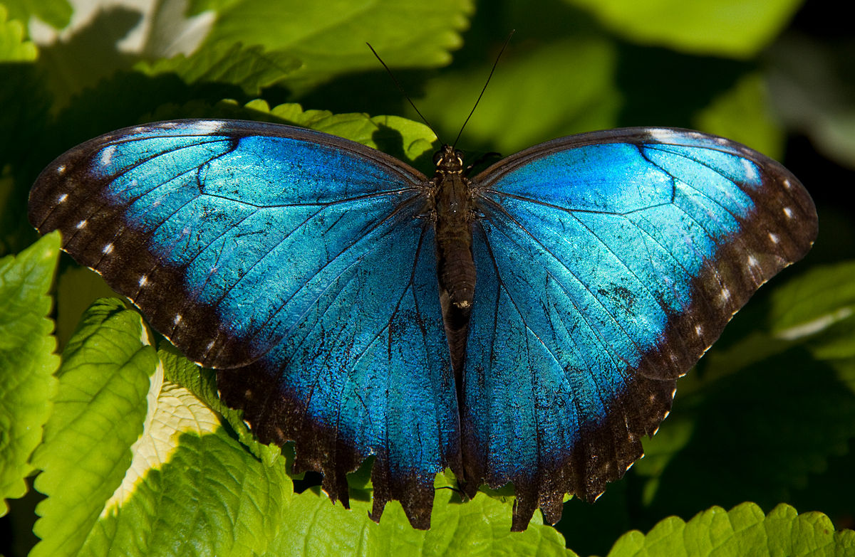 File:Blue Morpho (7974443510).jpg