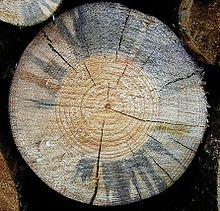Colorazione bluastra di un legno di pino silvestre.