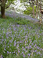 Bluebells at Ynys-hir - Andy Mabbett - 02.JPG