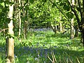 Bluebells in Cangsley Grove - geograph.org.uk - 1334198.jpg
