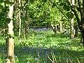 Bluebells in Cangsley Grove - geograph.org.uk - 1334198.jpg