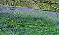 Bluebells in the woods near Trowan - geograph.org.uk - 797358.jpg