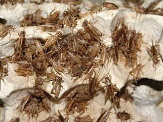 Insects as food - Crickets being raised for human consumption