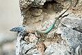 Bonaire whiptail lizard Cnemidophorus murinus ruthveni.jpg