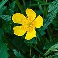 Boterbloem (Ranunculus) 26-04-2020. (actm.) 02.jpg