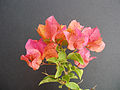 Bougainvillea orange to pink.jpg