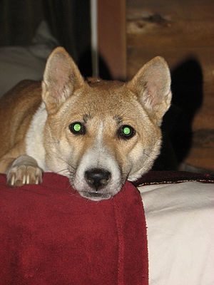 English: Singing Dog eyes glow bright green wh...