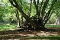 Branch stack against trees in Hatfield Forest Essex England 2.jpg