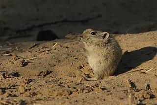 Brantss whistling rat species of mammal