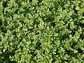 Brassica napus 12 ies.jpg