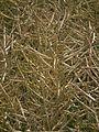 Brassica napus Saatgutvermehrung HD.JPG