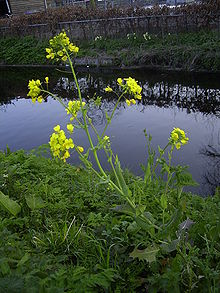 Brassica rapa plant.jpg