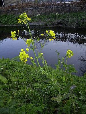 Brassica rapa - Image: Brassica rapa plant
