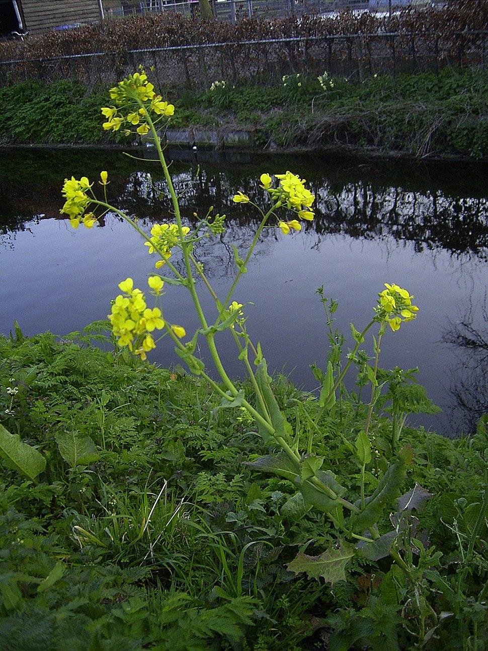 Brassica rapa plant