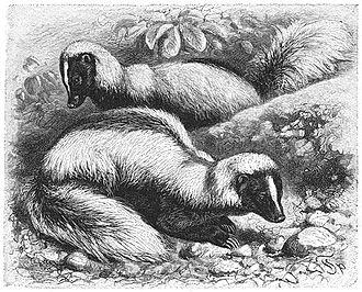 Hog-nosed skunk - Conepatus humboldtii