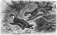 Brehms Het Leven der Dieren Zoogdieren Orde 4 Wezel (Putorius vulgaris).jpg