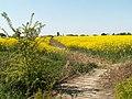 Bridleway cut through oil seed rape - geograph.org.uk - 420432.jpg