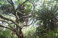 Bromélias gigantes 1.jpg