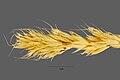 Bromus scoparius NRCS-1.jpg