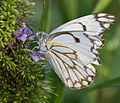 Brown-veined white butterfly (Belenois aurota).jpg