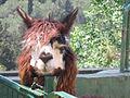 Brown Alpaca.jpg
