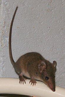 Brown Antechinus Wikipedia