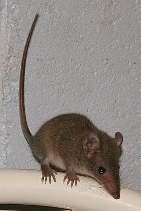 alt=Description de l'image Brown Antechinus.jpg.
