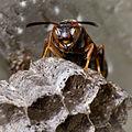 Brown Paper Wasp-27527-5.jpg