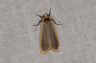 <i>Brunia</i> (moth) genus of insects