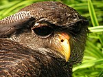 Bubo sumatranus (Barred Eagle Owl).jpg