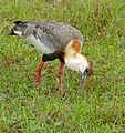 Buff-necked Ibis (Theristicus caudatus) foraging in the grass ... (28999930702).jpg