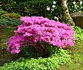 Buisson d'azalées rose foncé.JPG