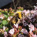 Bumblebee (Male Bombus lucorum), Sandy, Bedfordshire (9380997517).jpg