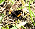 Bumblebee near Wellington (6941533948).jpg