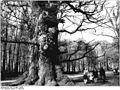 Bundesarchiv Bild 183-M0521-0006, Ivenack, Rieseneiche.jpg