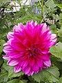 Bunga Dahlia ungu.jpg