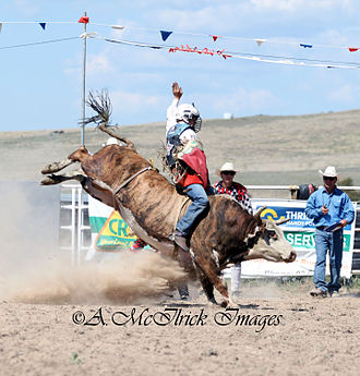 Bull riding - It is anatomically impossible for a flank strap to bind the genitals of a bull