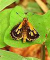 Bush Hopper Ampittia dioscorides Male Sri Lanka by Dr. Raju Kasambe DSCN4025 (11).jpg