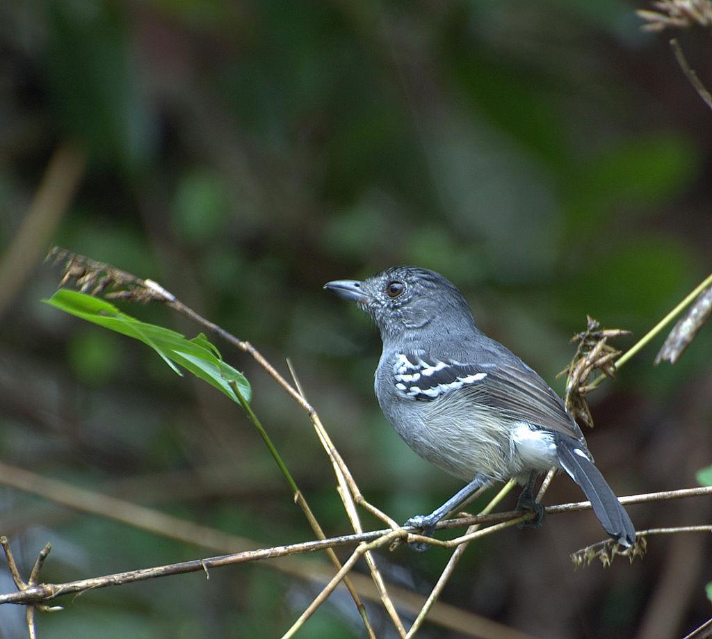 CHOCA-DA-MATA macho ( Thamnophilus caerulescens).jpg
