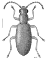 COLE Anthicidae Lagrioida brounii.png
