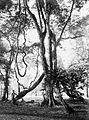 COLLECTIE TROPENMUSEUM Een grote Liaan Entada Scandens in 's Lands Plantentuin te Buitenzorg West-Java TMnr 10010801.jpg