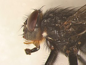 Calliphora vomitoria male head.jpg