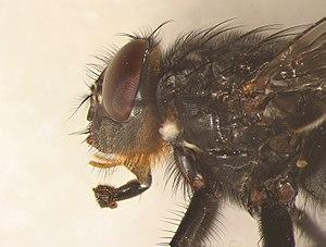 Blue bottle fly - Image: Calliphora vomitoria male head