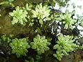 Callitriche cophocarpa 2.jpg