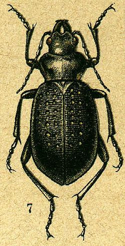 meaning of calosoma
