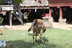 Calving in Laos (3 of 9).jpg