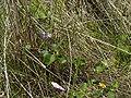 CalystegiaSoldanella-blad-kl.jpg