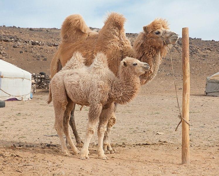 File:Camel Farm in Mongolia 05.jpg